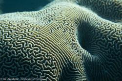 BD-121125-Aqaba-6886-Platygyra-sp.-Ehrenberg.-1834-[Brain-coral].jpg